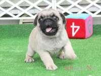 滋賀県(関西)パグ子犬 2015.7.9生・フォーン・オス ID:150725162103