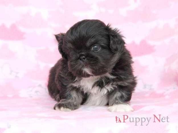ペキニーズ子犬・ブラック&ホワイト・オス