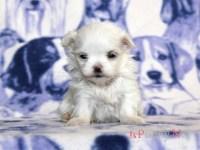 滋賀県(関西)マルチーズブリーダー子犬|2016.3.17生メス|ID:160417081616