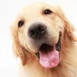 ゴールデンレトリーバーブリーダー子犬販売情報