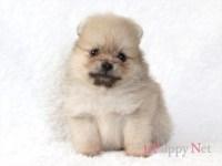ポメラニアン子犬|2019.7.3生・クリーム・オス|大阪府ブリーダー|ID:190718122004