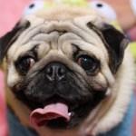パグブリーダー子犬販売情報