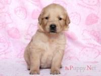 ゴールデンレトリーバー子犬|2019.7.29生・メス|滋賀県ブリーダー|ID:190901182056