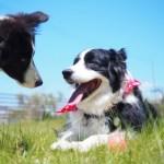 ボーダーコリーブリーダー子犬販売