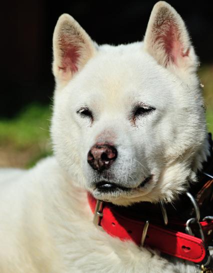 紀州犬ブリーダー子犬販売