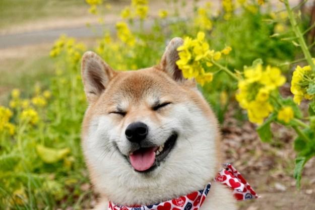柴犬ブリーダー子犬販売
