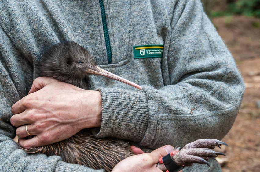 oiseau kiwi au Tongariro en nouvelle-zelande