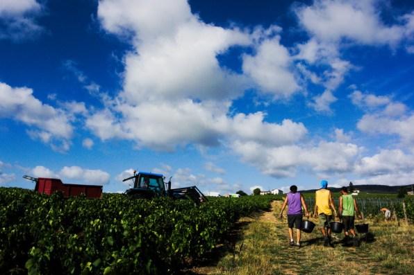 le tracteur dans les vignes indiquent la fin de notre ligne, vendanges dans le beaujolais