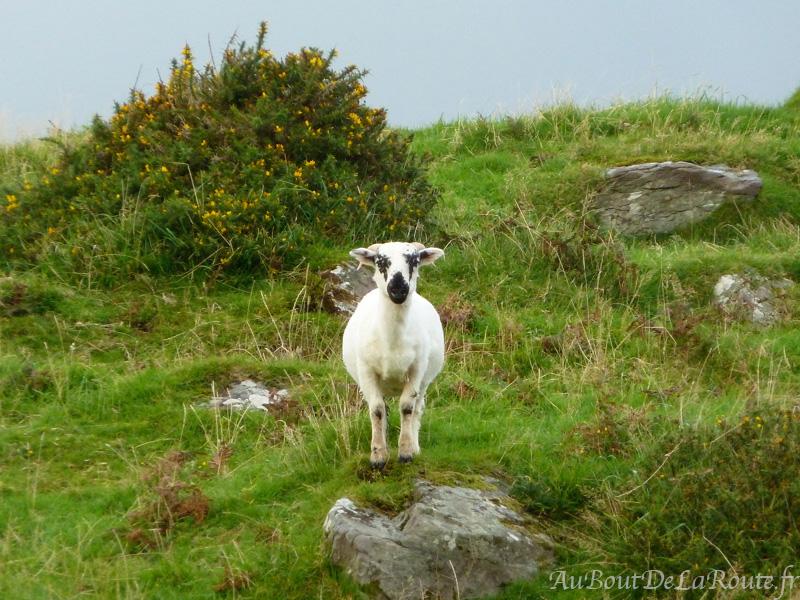 Mouton de Leacanabhaile Fort