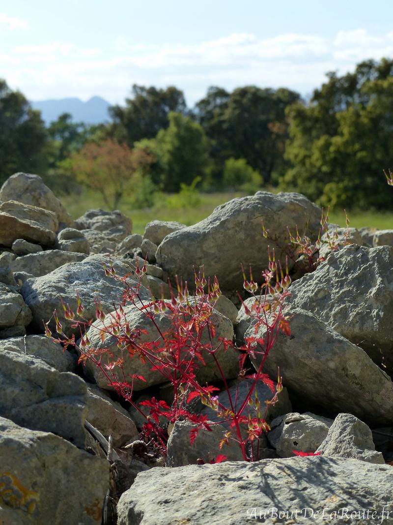 Plante pierres