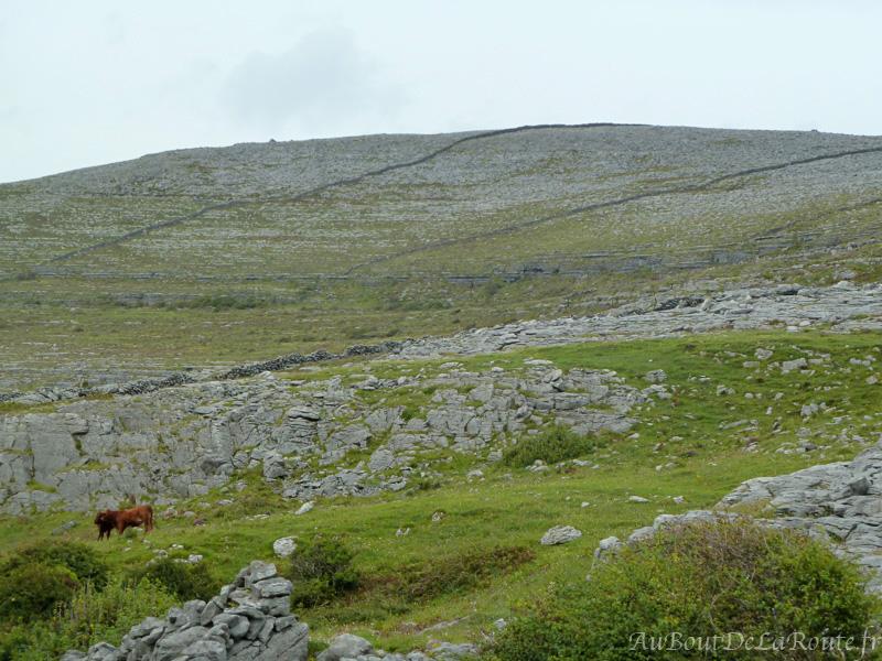 Vaches du Burren