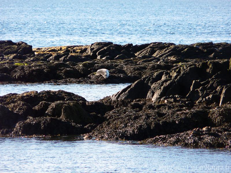 Phoque blanc a Svalbarð