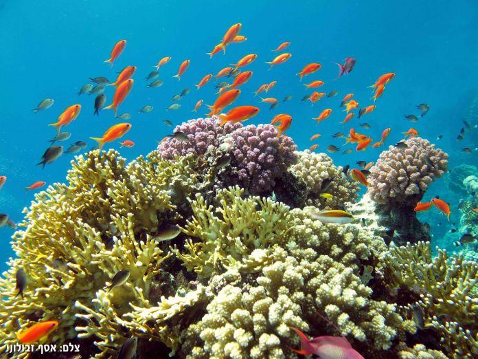 Korallenriff vor der Küste Israels. Foto Asaf Zvuloni/ Flash90