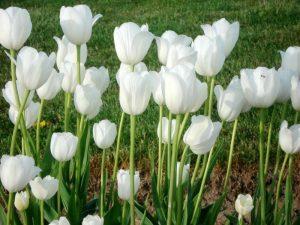 Audrey Hepburn Tulips