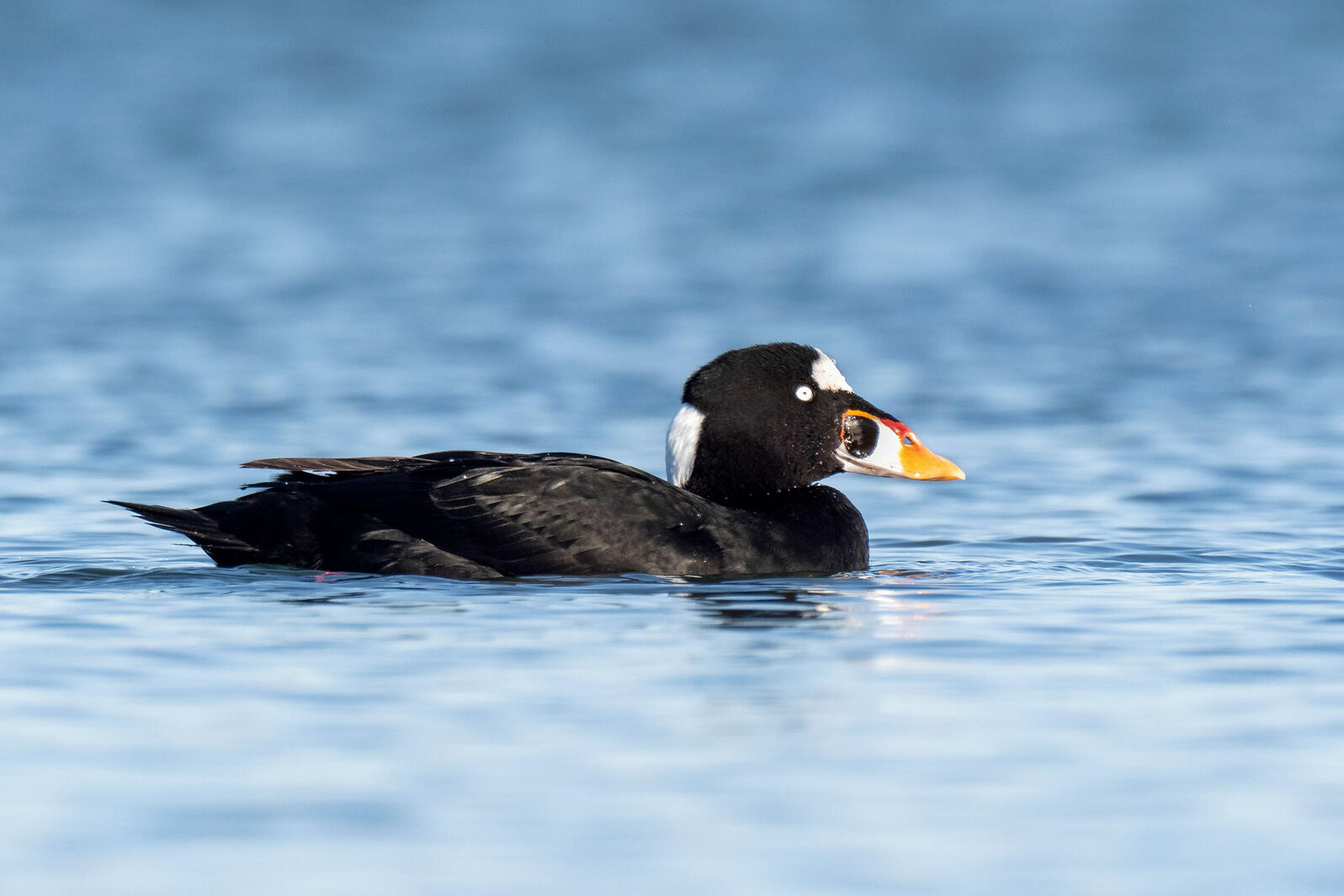 California Pioneers a New Way to Manage Fish for Birds