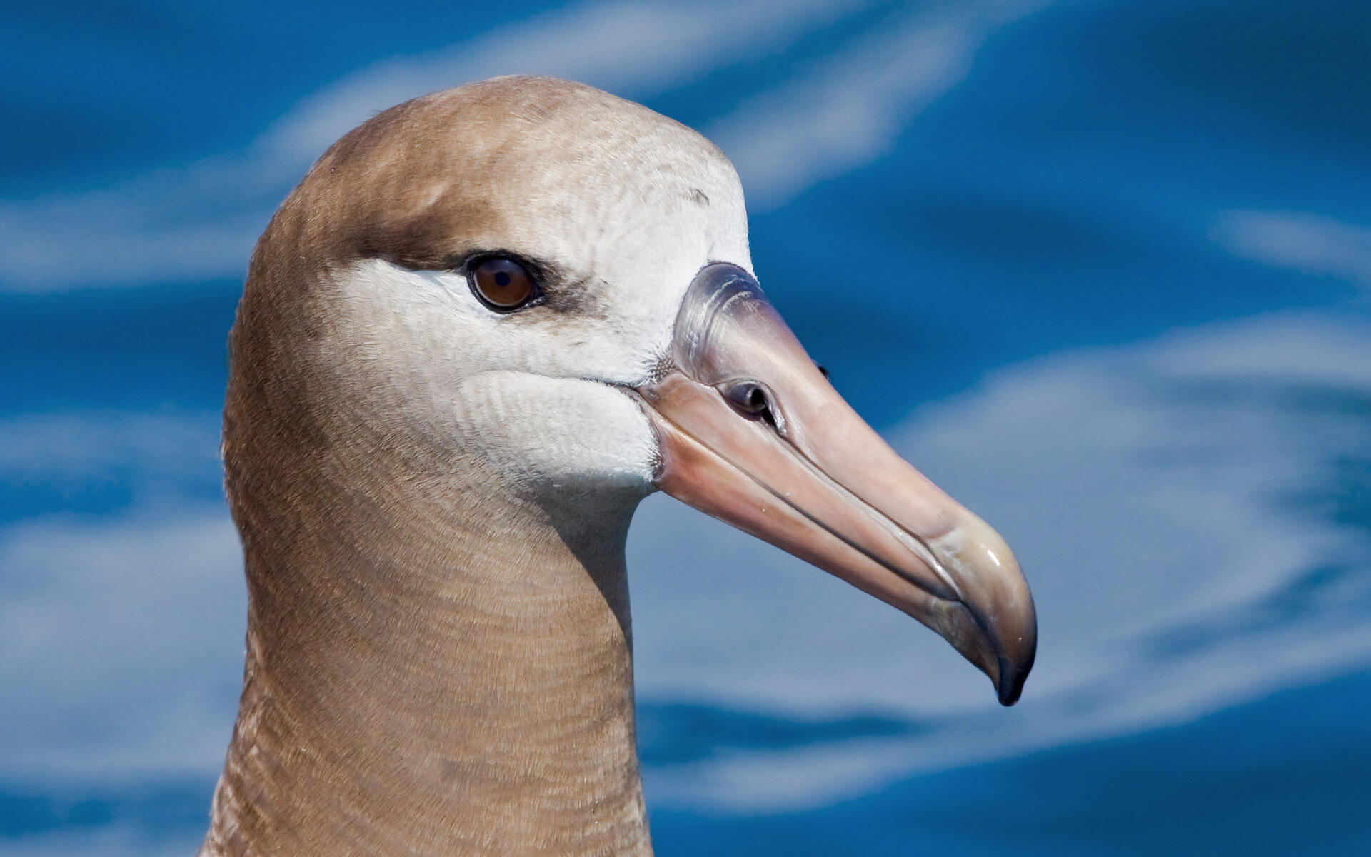https://i2.wp.com/www.audubon.org/sites/default/files/styles/hero_cover_bird_page/public/Black-footed%20Albatross%20b57-10-017_V.jpg