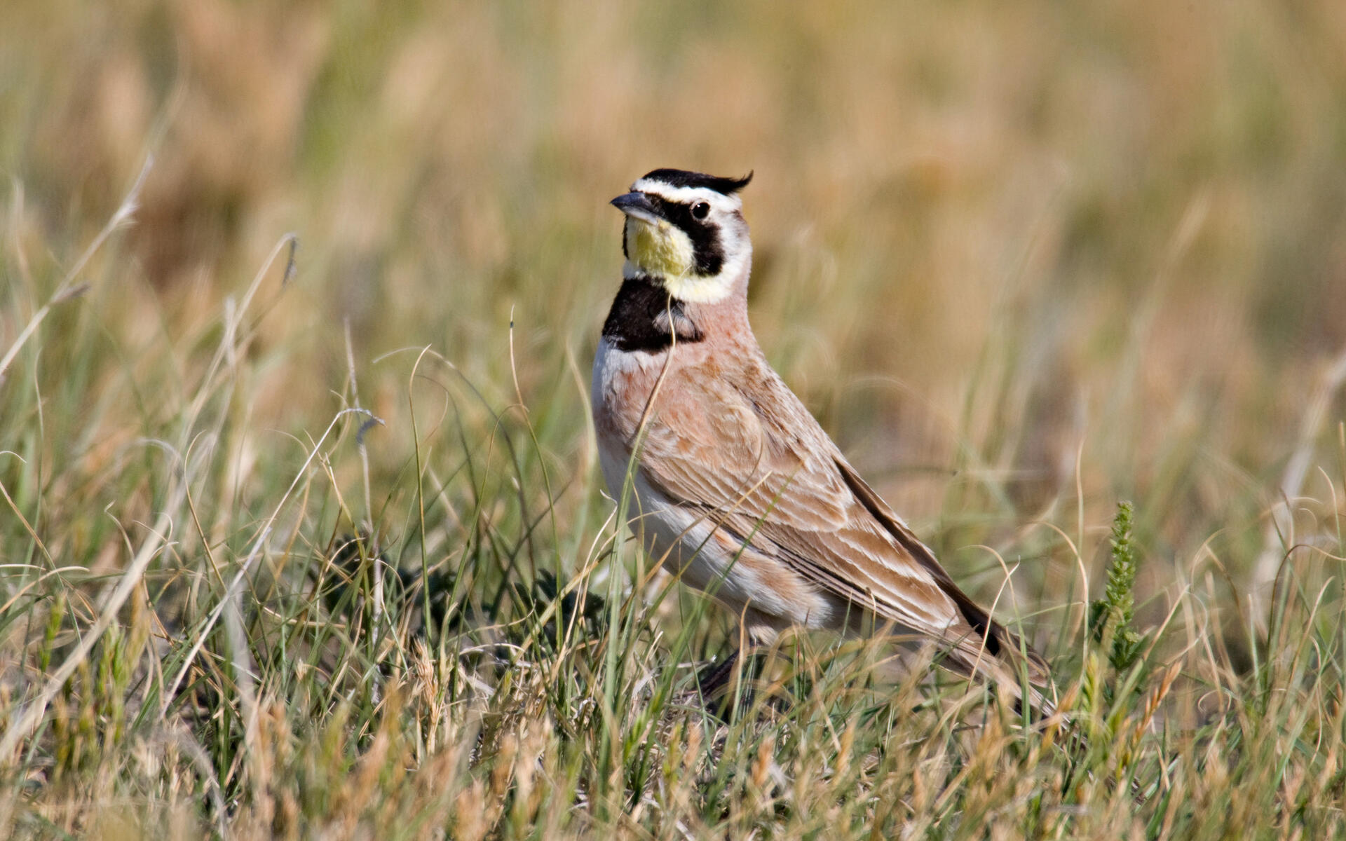 Horned Lark Audubon Field Guide
