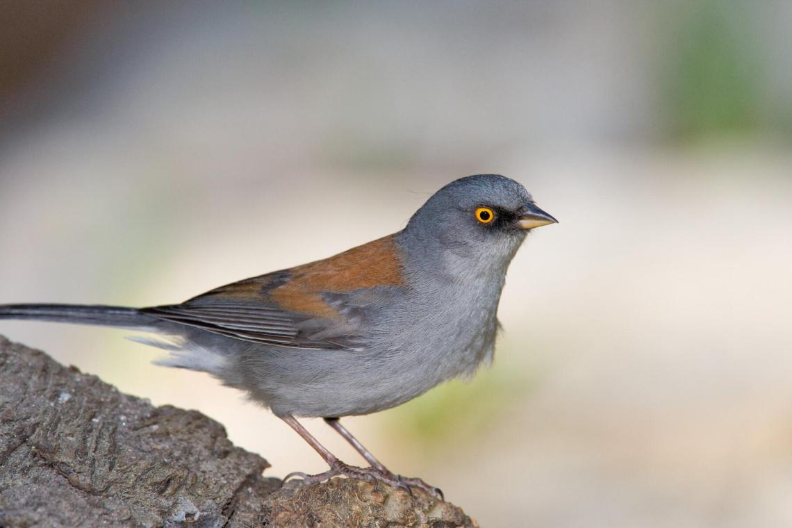https://i2.wp.com/www.audubon.org/sites/default/files/styles/hero_cover_bird_page/public/Yellow-eyed%20Junco%20l07-50-292_V.jpg?resize=1140%2C760