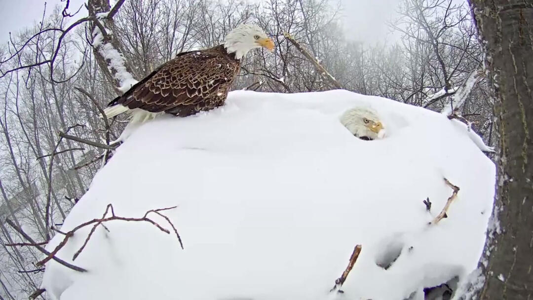 Bald Eagle Parents Get Buried By Snow While Incubating