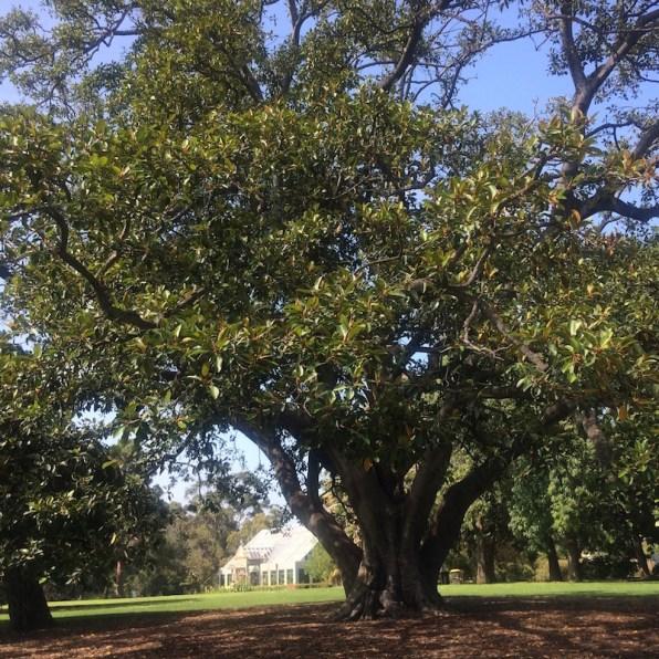Australien-Melbourne-StKilda-BotanischerGarten-Baum