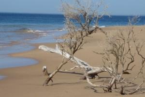 Australien MorningtonPeninsula BaumStrand | aufmerksam reisen