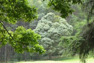 Australien-YarraValley-Eichenwald