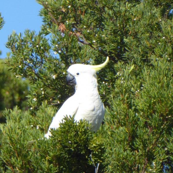 Australien-Tiere-Kakadu