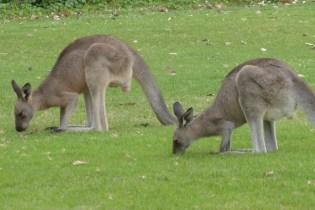 Australien-Tierleben-Kaenguru-grasend