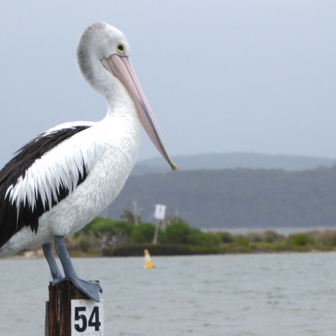 Australien-Tierleben-Pelikan