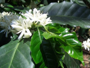 kavamedis-ziedai