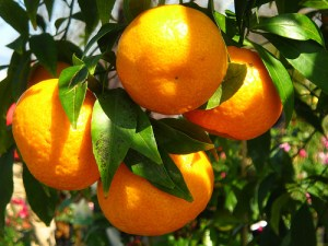 mandarininis-citrinmedis