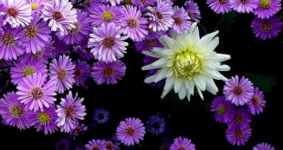 Astras (Aster)