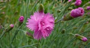 Gvazdikas kininis (Dianthus chinensis)