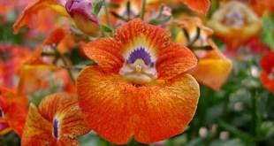 Nemezija gurklinė (Nemesia strumosa)