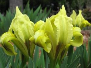 Žemasis vilkdalgis (Iris pumila)