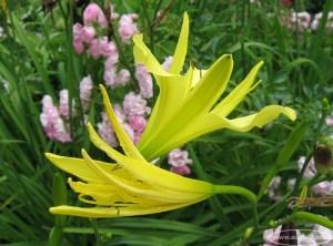 Citrininė viendienė (Hemerocallis citrina Baroni)