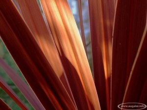 Kordilina (Cordyline australis)