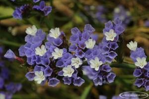 Saladėlė (Limonium)