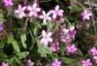 Putoklis bazilikinis (Saponaria ocymoides)