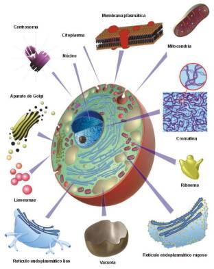 Resultado de imagen de metabolismo, es un conjunto enorme de reacciones más o menos sencillas de oxidación, reducción, hidrólisis, condensación, etc., que nos lleva hasta...