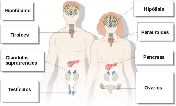 Resultado de imagen de sistema endocrino