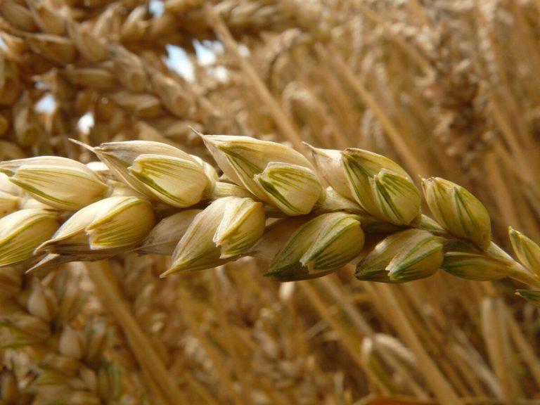 Le blé en terre (Jn 12,20-36)