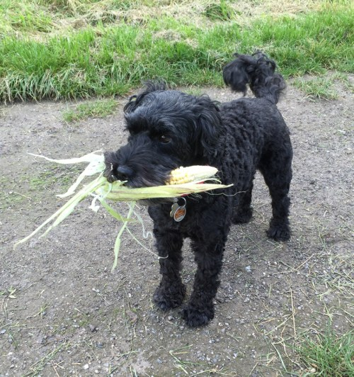 Poppy and Sweetcorn