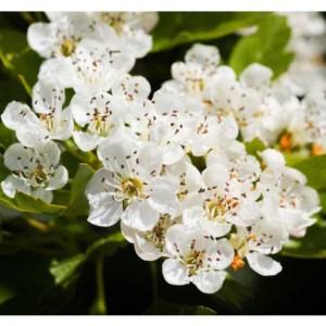 Fleurs fruitiers