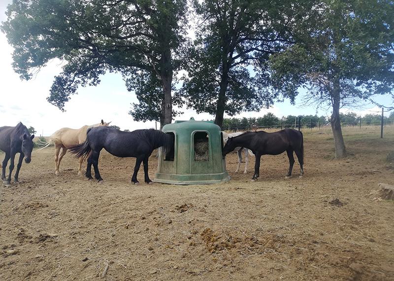 Troupeau de chevaux en train de manger du foin