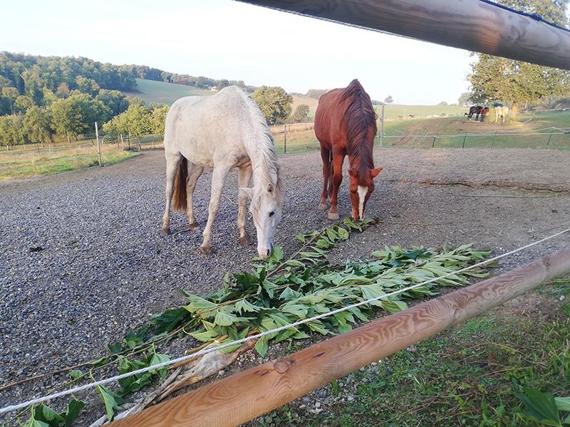 Deux chevaux mangeant des branches