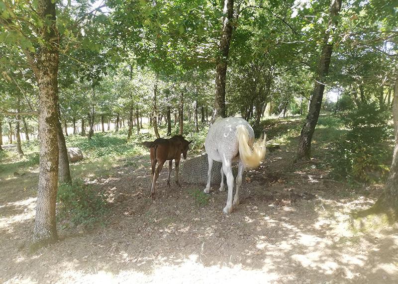 Deux chevaux mangeant du foin
