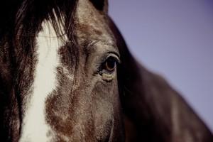 Le cheval de la mine au pays des ch'tis