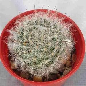 MAMMILLARIA bocasana v rubriflora