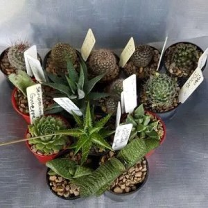 mixed cactus and succulent packs